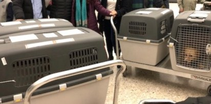 Photo of the four dog crates (and five dogs) that arrived from Turkey the night we got Dandy.