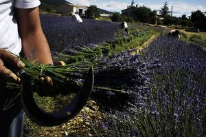 harvesting lavendar in sault france marilyn l davis two drops of ink