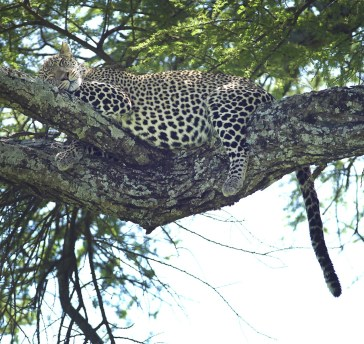 Sleeping Leopard. Serengeti National Park, Tanzania