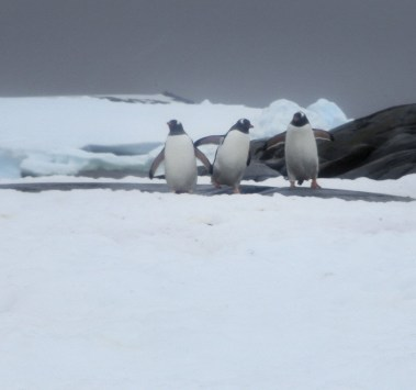 Penguins out for a walk on the ice.