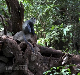 Lake Manyara Safari Tanzania Africa Blue Monkey (Large)