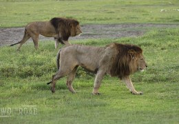 African Lions: Ten Fascinating Facts and Our Favorite Photos