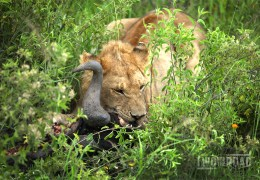 Photo of the Day: Feasting with the King of the Beasts