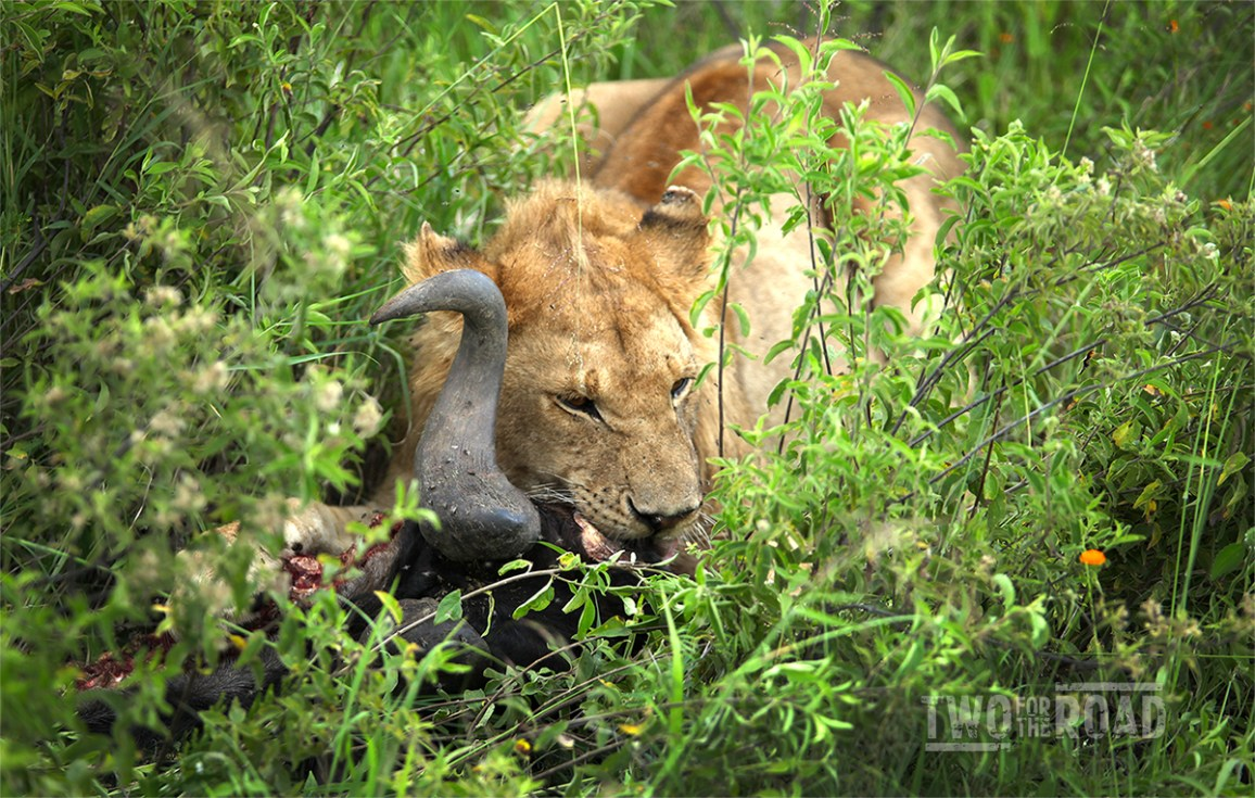 Two for the Road Photo of the Day: Serengeti Lion Eating Wildebeest