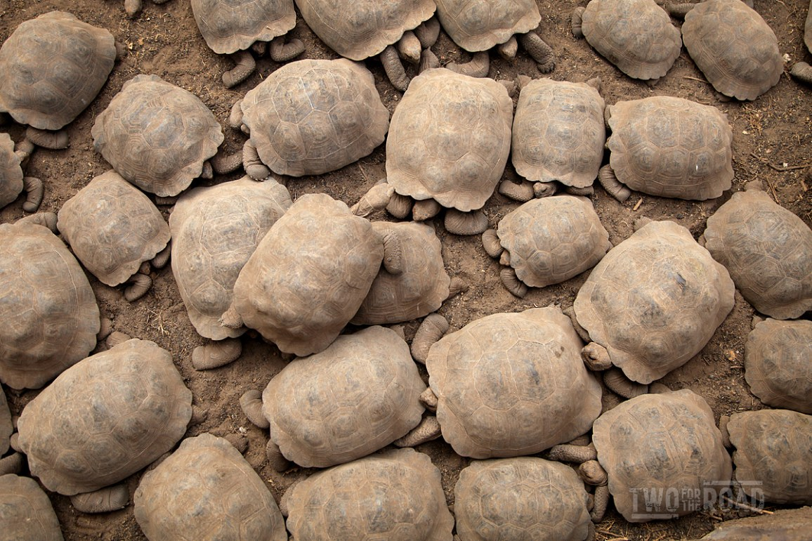 Two for the Road Photo of the Day: Galapagos Giant Tortoises