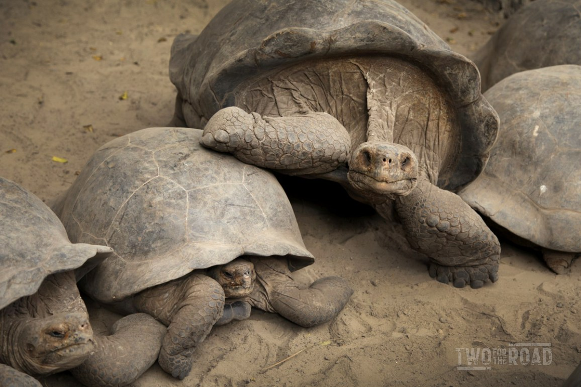 Two for the Road Photo of the Day: Galapagos Tortoises