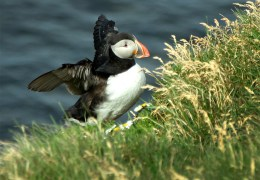 ...puffins! Lots and lots of puffins! And they were super close by!