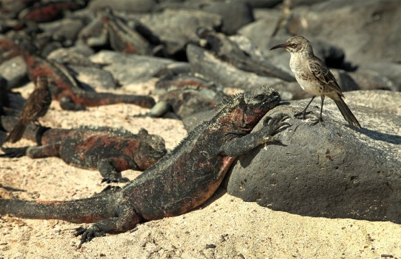 """And of course we encountered hundreds (if not thousands) of iguanas along the way, including these unique and amazing marine iguanas. The only """"swimming"""" iguanas on earth, and only found here in the Galapagos! (Bonus: a curious little mockingbird, a type also only found here.)"""