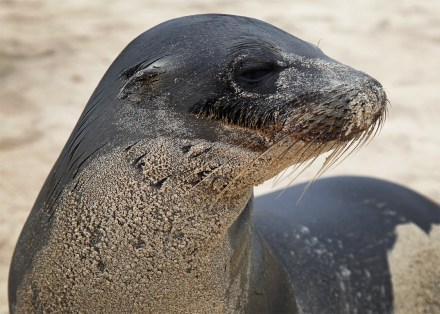 Galapagos sea lion. And like most all animals here they're completely unafraid of humans. So you can walk among them and they absolutely just don't care. (But by law you have to stay at least two meters - or about six feet -away from them.)
