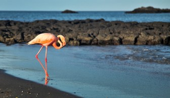 Did you know there are flamingos in the Galapagos? Now you do! They're not everywhere and they aren't in big numbers, but you can spot a few every now and then. How cool is that?