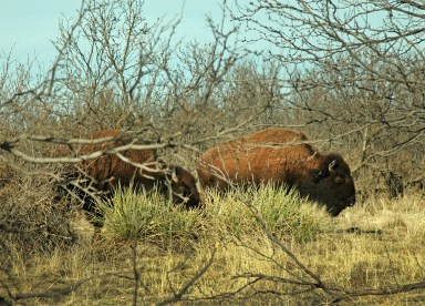 Yep. Caprock Canyons is home to the Texas State Buffalo Herd, and the bison often move freely through the park.