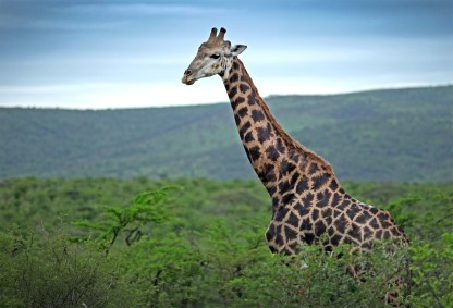 """We saw so many of these beautiful guys! And did you know a group of giraffes is actually called a """"tower"""" of giraffes? True story! And appropriate LOL"""