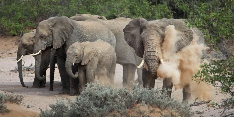 Namibia's gorgeous and rare desert-adapted elephants.