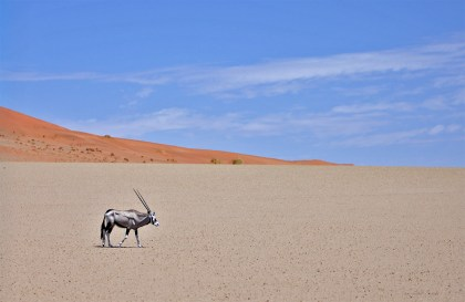 A beautiful solitary oryx! Saw lots of these guys!