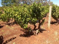 Clare Valley Grenache ready to be picked