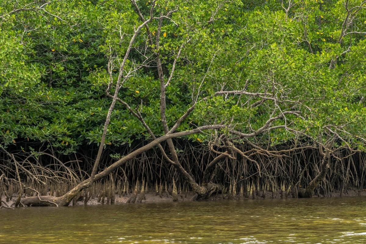 mangroverødder