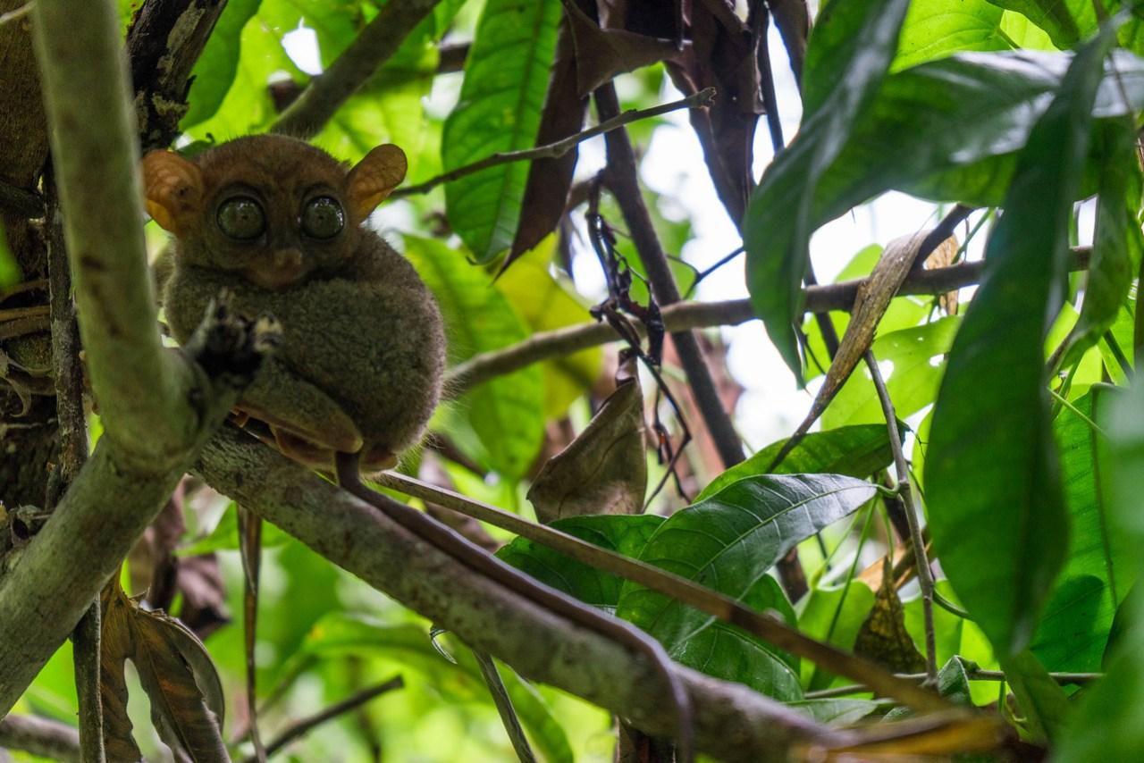 tarsier fedeste dyr