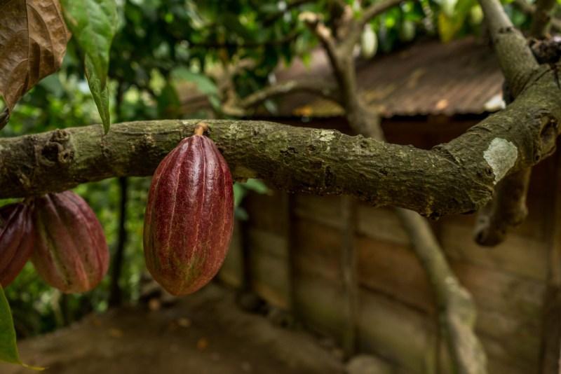 kakaotræer i lanquin