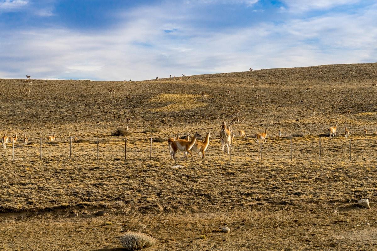 patagonien billeder guanaco