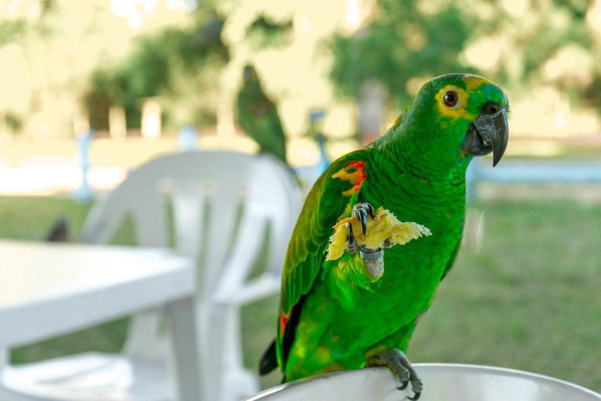 amazonas papegøje