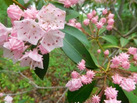 These are mountain laurels