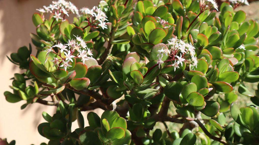 Grubosz Hobbit Crassula ovata - łatwy w uprawie kwiat doniczkowy.