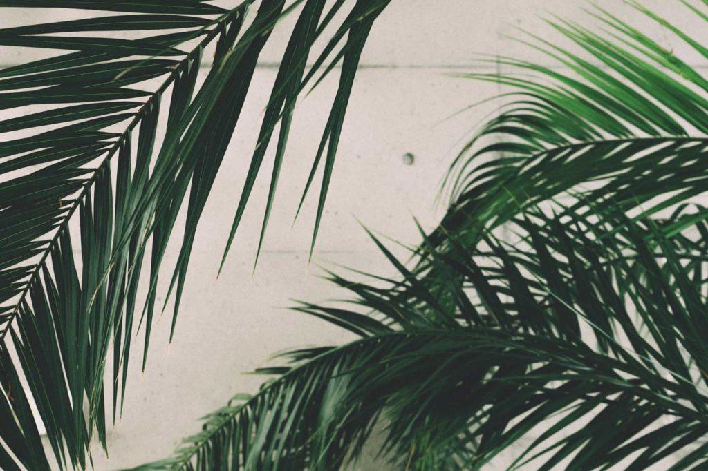 Palma królewska modny kwiat doniczkowy