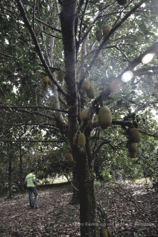 Walking under the Jack fruit trees. There were some hanging that were over 70 pounds.