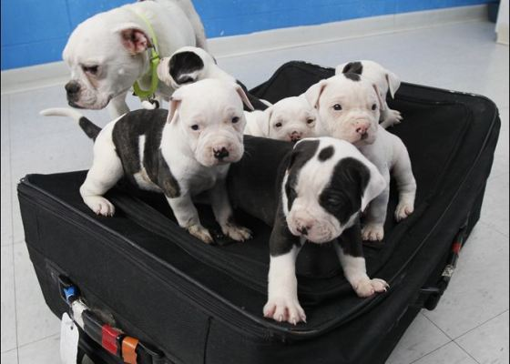 English Bulldog and her 6 puppies