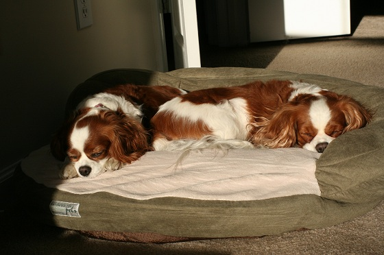 The Two Little Cavaliers Checking out the Bed