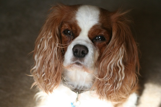 Indiana the Cavalier King Charles Spaniel
