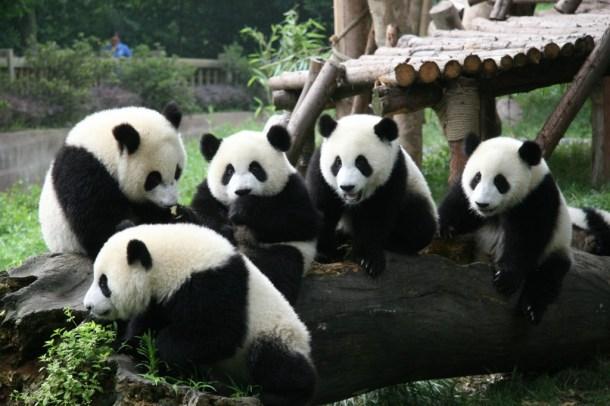 Chengdu Pambassador