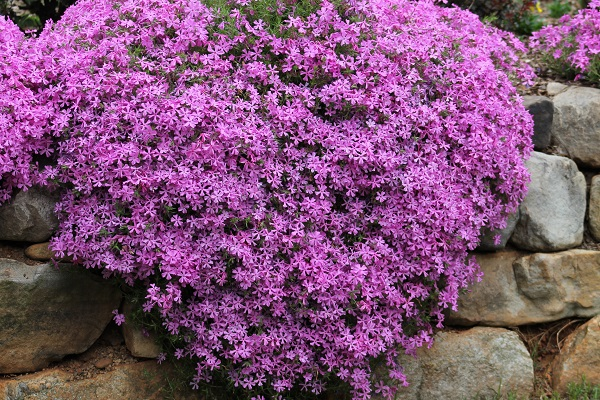 My Garden Purple Heart Flowers I Only Wish