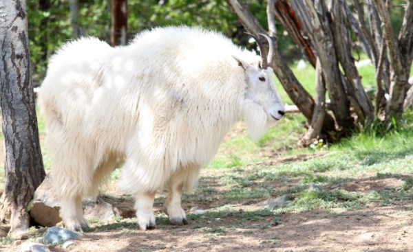 Animals of Alaska Dall Sheep