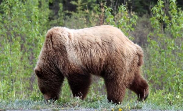 Animals of Alaska Grizzly Bear