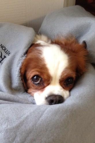 Cavalier King Charles Spaniel Bundled Up in Blankets
