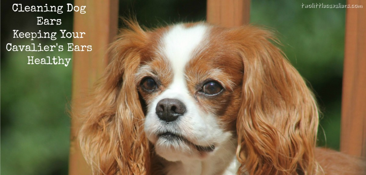 Cleaning Dog Ears - Keeping Your Cavalier's Ears Healthy