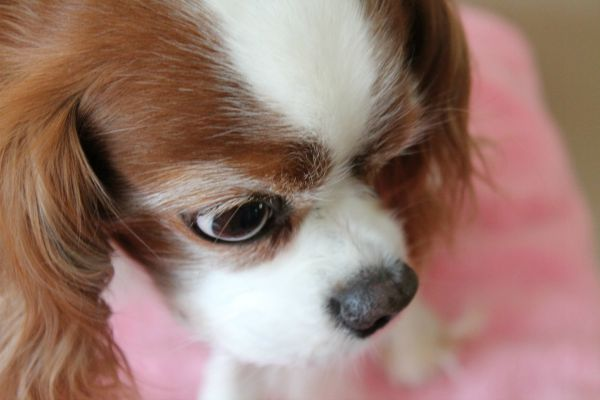 Cavalier King Charles Spaniel Davinia Two Little Cavaliers #CHIforDogs