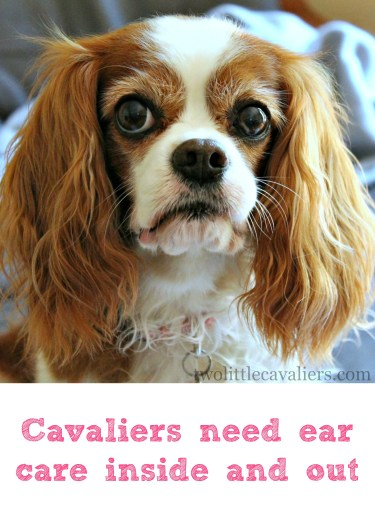 Cavaliers need ear care inside and out #BayerExpertCare