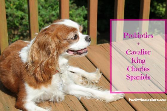 Probiotics + Cavalier King Charles Spaniels #BayerExpertCare