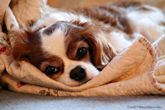 With Cavaliers You Will Never have a pillow to yourself