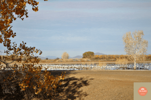 Photo of Snow Geese on the Canada Goose Drive