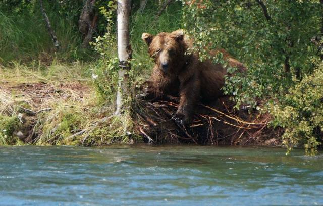 Fishing with Alaska Brown Bears