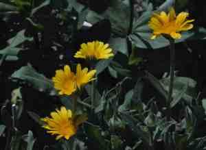 Herb Gardening Calendula