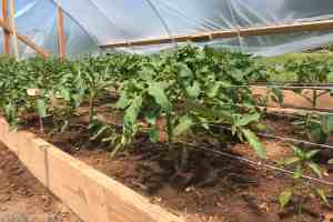 Expert How-to; Pruning and Trellising Tomatoes for Success