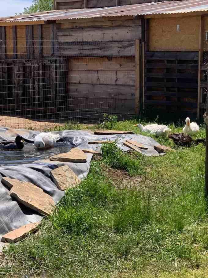 duck pond, animal village