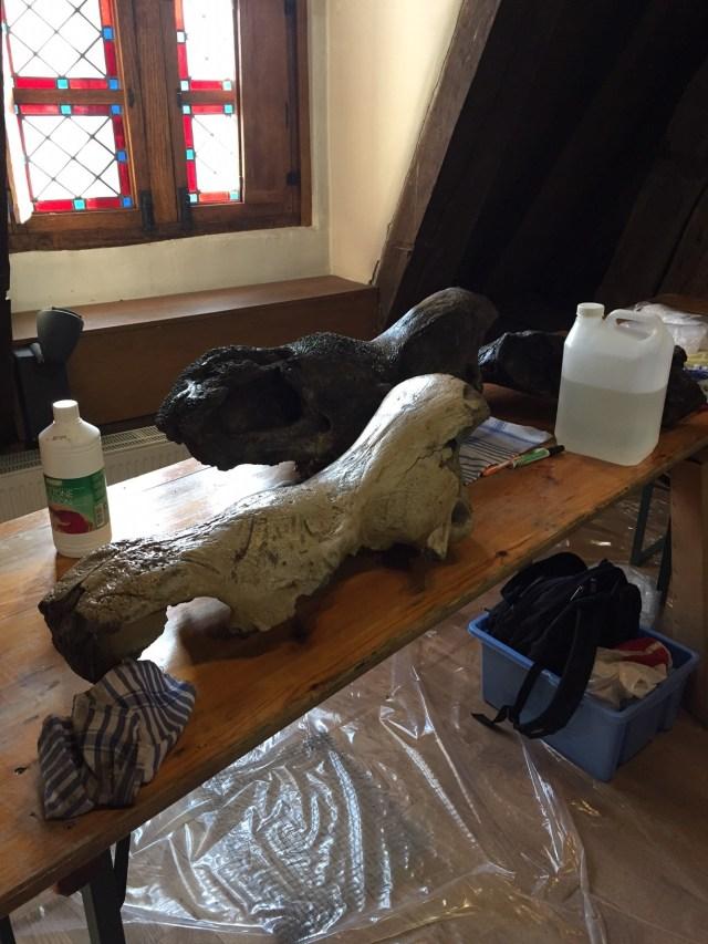 restauratie Onze mammoet: De oudste inwoner van Dendermonde