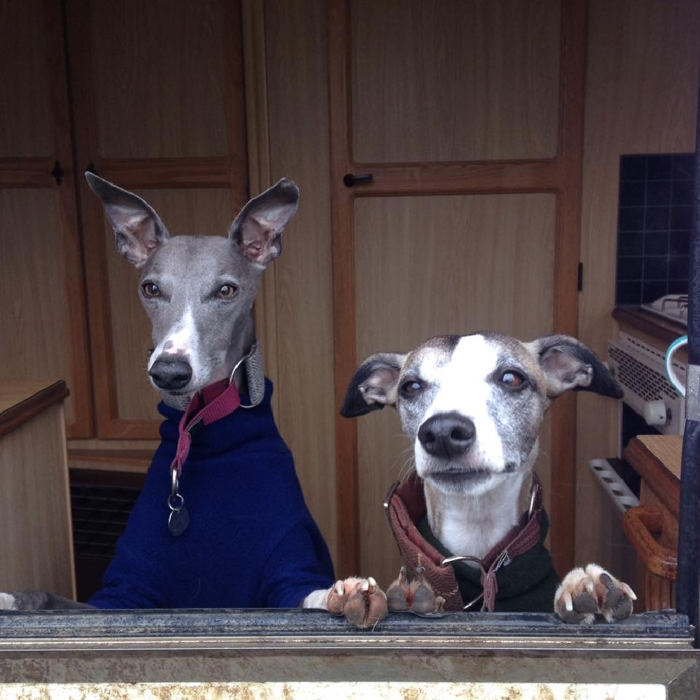 dear new whippet owner