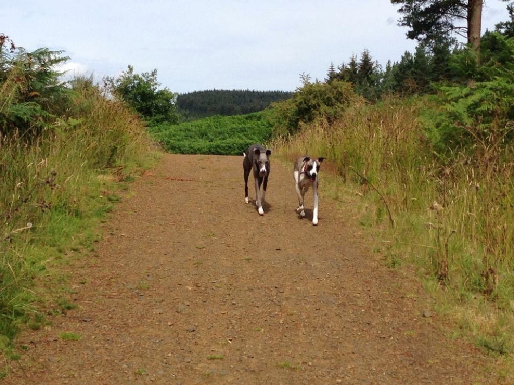 new whippet owners