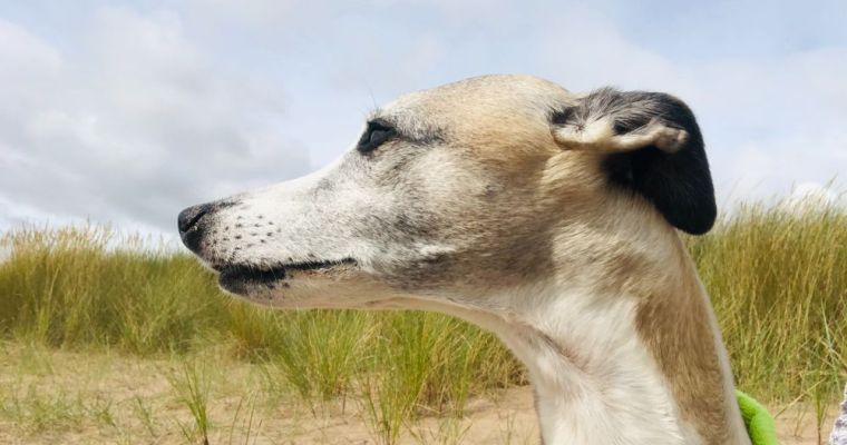 What are Whippets like? Our A-Z of Owning a Whippet